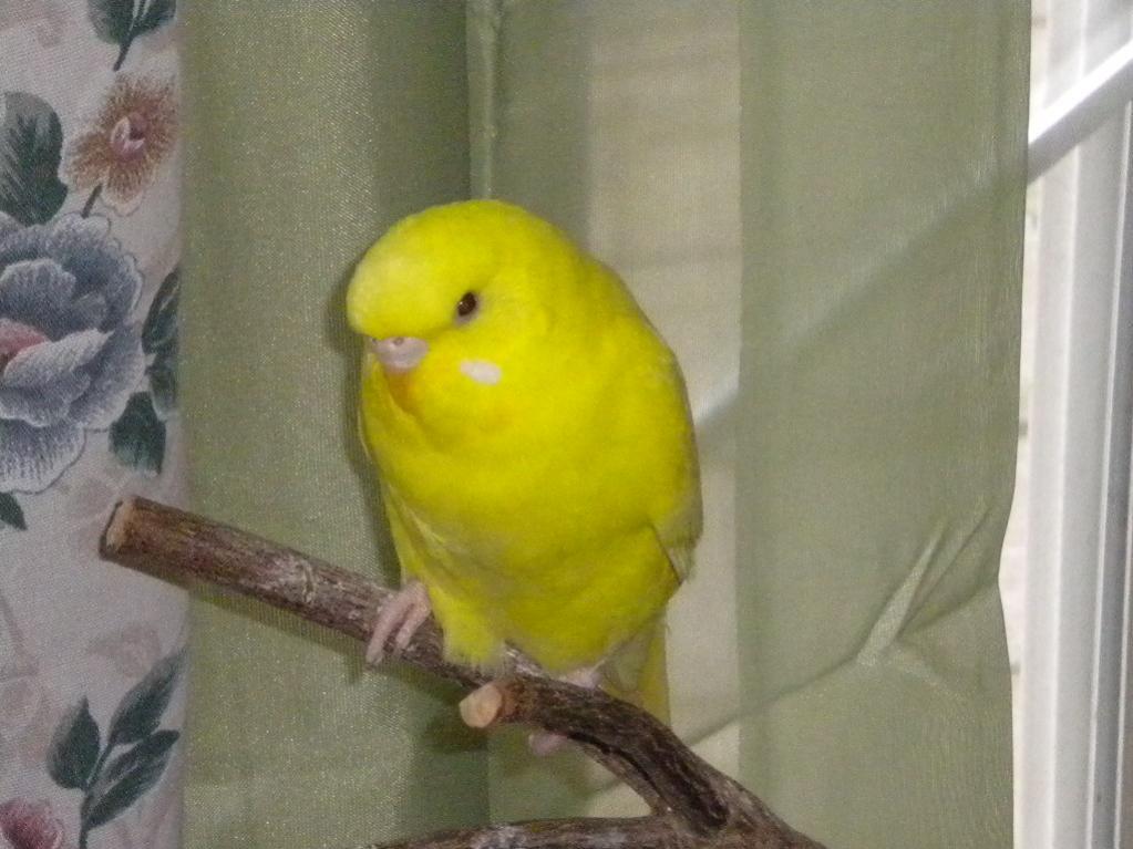** Pretty Parakeet Pictures**-dscn0547-jpg