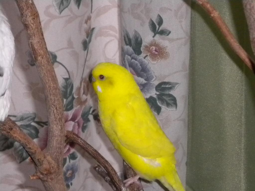 ** Pretty Parakeet Pictures**-dscn0543-jpg